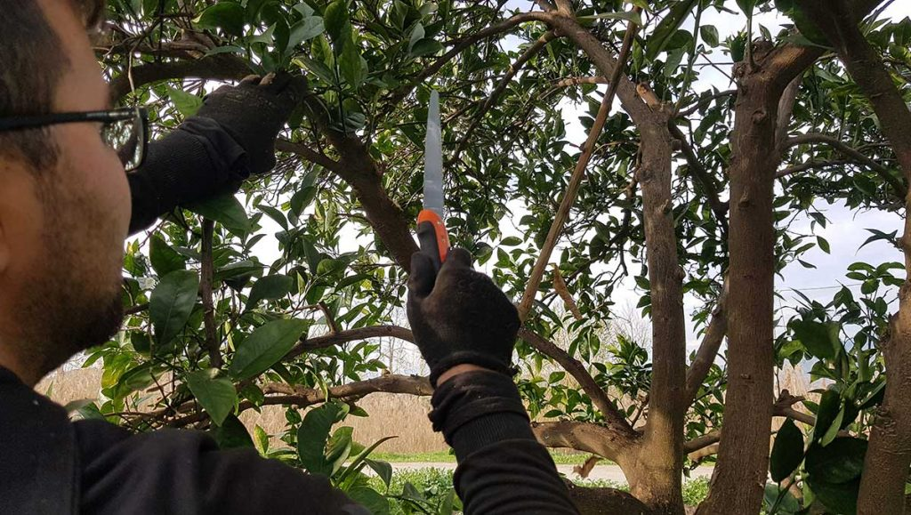 Pruning and grafting service in Turkey. Pruning is crucial to prepare your trees for the next season as well as protecting them from pests and diseases https://scagriconsult.com