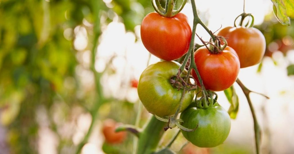 The first tomato seeds https://scagriconsult.com