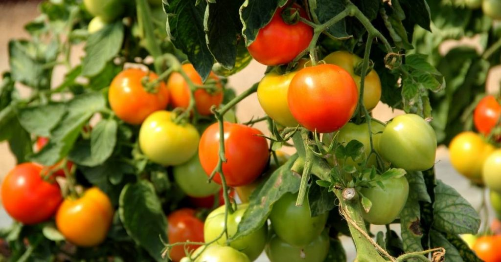 History of The Tomato Fruit https://scagriconsult.com